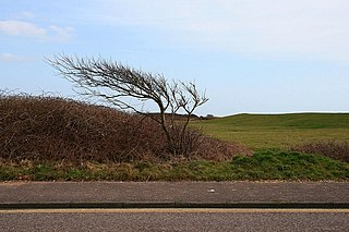 file:wind blown bush geograph.org.uk 1777266.jpg