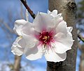 Winter cherry blossom - Prunus Subhirtella Autumnalis Rosea.jpg