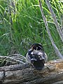 Wood Duck - Two Ponds (10998135196).jpg