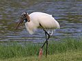 Wood Stork - Mycteria americana.jpg