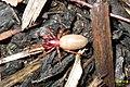 Woodlouse spider (FG) (8897722977).jpg