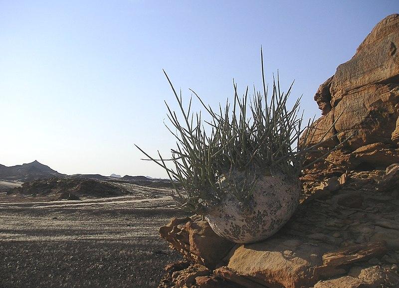 Adenia accrochée  à un rocher dans le désert