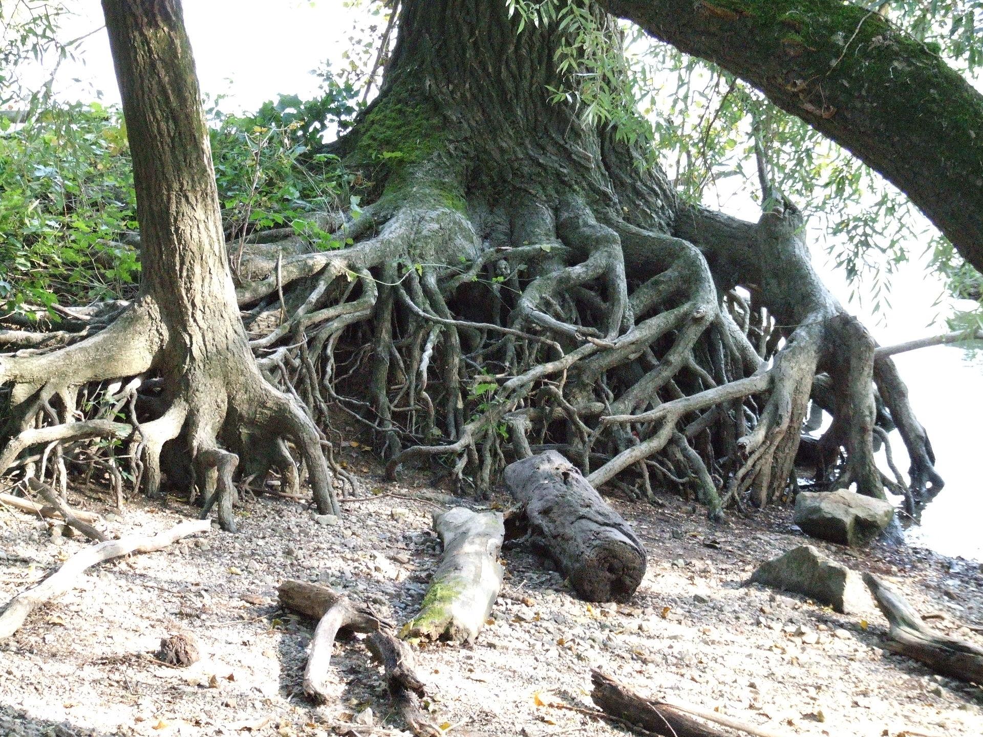 Baum – Wikipedia