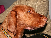 Un Vizsla Alambre-haired