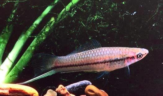 Xiphophorus helleri 03