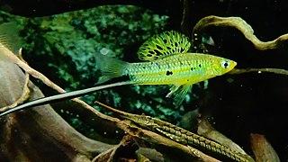 Xiphophorus montezumae - Montezuma swordtail | Tropical Fish ...