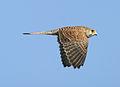 Xoriguer 06 - cernicalo comun - common kestrel.jpg