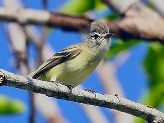 Yellow-bellied elaenia - Anton, Panama