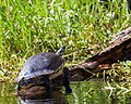 Yellow-bellied Slider Turtle 1.jpg