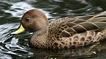 Yellow-billed Pintail (Anas georgica) (3).jpg