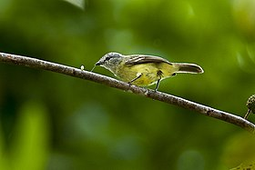 Yellow-crowned Tyrannulet - Panama MG 2117 (16872192372).jpg