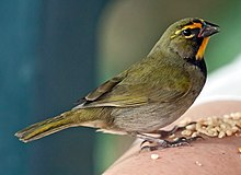 Yellow-faced-grassquit-eating-seeds.jpg