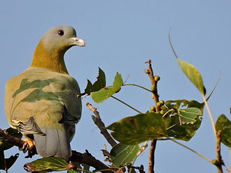 Yellow-footed green pigeon - Image: Yellow footed Green Pigeon, Mohali, Punjab, India