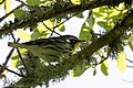 Yellow-throated Warbler Boy Scout Woods High Island TX 2018-04-11 10-41-26 (26932580277).jpg