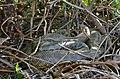 Yellow Anaconda (Eunectes notaeus) coiled on the bank ... (31459077390).jpg