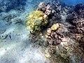 Yellow Coral (24053402995).jpg