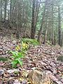 Yellow Lady Slipper on the Nipissing Ridge in Ontario.jpg