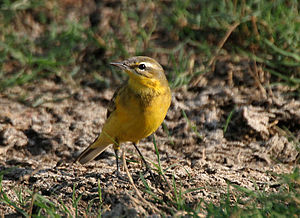 English: Yellow Wagtail Motacilla flava at Hod...