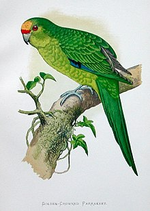 Yellow headed parakeet.jpg