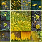 Yellow summer mosaic (2813226707).jpg