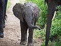 Young elephant, Lake Manyara National Park (2015).jpg