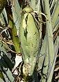 Yucca baccata 9.jpg
