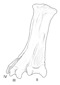 Yungavolucris holotype tarsometatarsus