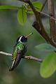 Zafiro Oreja Blanca, White Eared Hummingbird, Hylocharis leucotis (17015994576).jpg