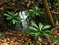 Zelenika Rhododendron Ponticum 2.JPG