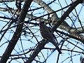 Zimovka, ženka (Pyrrhula pyrrhula) Eurasian Bullfinch, femalee.jpg