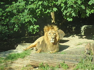 Mulhouse Zoological and Botanical Park - Male Asiatic lion.