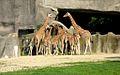 Zoo de Vincennes, Juin 2007 - Girafes.jpg