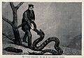Zoological Society of London; a python swallowing a boa with Wellcome V0023161.jpg