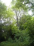 """""""Пивний ліс""""дерева.jpg"""