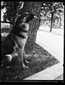 """Alex,"" prize German police dog and pet of Miss Ailsa Mellon, daughter of Treas. smokes cigarettes n'everything. Alex's father is the $12,000 prize police dog ""Wolfe"" LCCN2016893564.jpg"