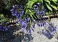 'Agapanthus' Quex House Birchington Kent England 1.jpg