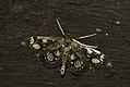 (1378) Phlyctaenia coronata (3686021286).jpg