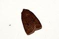 (2258) The Chestnut (Conistra vaccinii) (4000533649).jpg