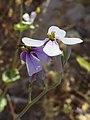 (ALB) R. sativus-9.jpg