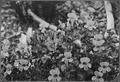 (Mimulus Lewisii) Monkey Flower - NARA - 299012.tif