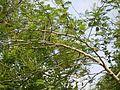 ¿ Acacia catechu ? (4695547906).jpg