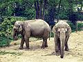 Éléphants d'Asie au zoo d'Amiens.jpg