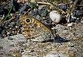 Буроглазка Мегера (Краеглазка мегера) - Wall Brown - Lasiommata megera - Mauerfuchs (31796878575).jpg