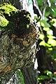 Бучач - Гніздо лип № 2 - Наріст на стовбурі - 14070901.jpg
