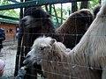 Верблюди в Екопарку Фельдмана.JPG