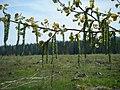 Весна - panoramio (11).jpg