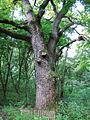 Віковічний дуб у Балці Парній.jpg