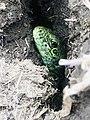 Зелёный житель Караби-яйла.jpg
