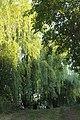Ива. Природный парк Донской.jpg