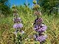 Мята болотная (Мята блошница) - Mentha pulegium - Pennyroyal (Squaw mint, Mosquito plant, Pudding grass) - Блатна мента - Polei-Minze (28506613866).jpg